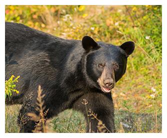 Observation de l'ours noir et Maison locative du Domaine de l'ours noir.